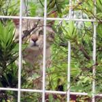 フェンスの向こう側からこちらを見つめる野良猫