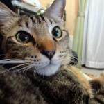 猫にとって薬は害!薬を使わない猫ノミ駆除方法:部屋対策編